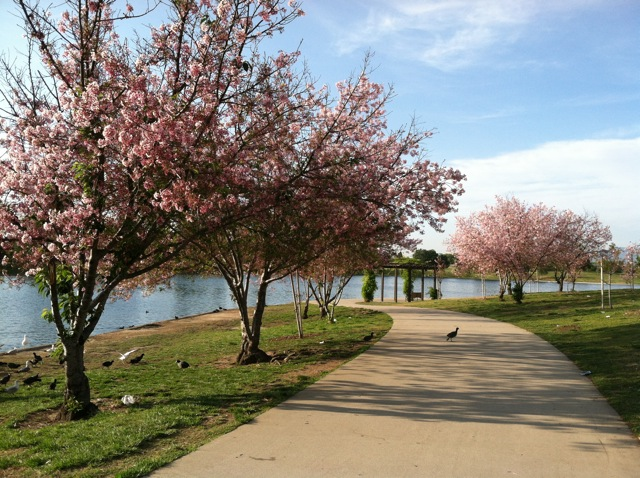 Los angeles nature adventure 64 cherry blossoms at lake for Best neighborhoods in los angeles for singles