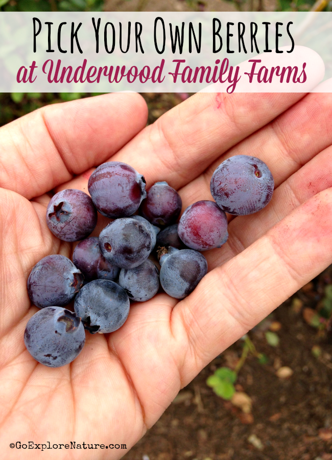 Each summer from about June through September, you can actually pick your own berries at Underwood Family Farms near Los Angeles.